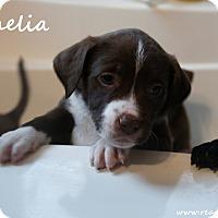 Adopt A Pet :: Ophelia - Rockwall, TX
