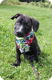 American Pit Bull Terrier/Labrador Retriever Mix Puppy for adoption in Staatsburg, New York - Bud
