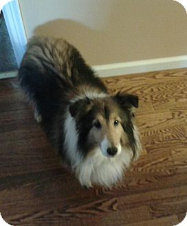 Sheltie, Shetland Sheepdog Dog for adoption in Mission, Kansas - Sable