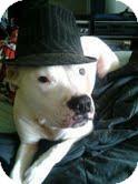 American Bulldog Mix Dog for adoption in Yamhill, Oregon - Hercules