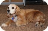 Cocker Spaniel Dog for adoption in Santa Barbara, California - BENI