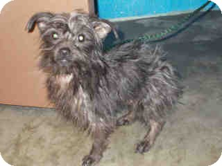 Yorkie, Yorkshire Terrier Mix Dog for adoption in Antioch, Illinois - Scruffy