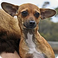Adopt A Pet :: Canela - Santa Barbara, CA