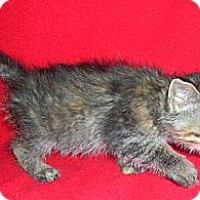 Adopt A Pet :: Rez Kitten #4 - Yakima, WA