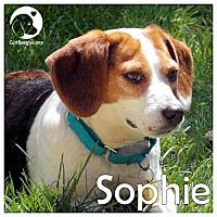 Adopt A Pet :: Sophie - Novi, MI