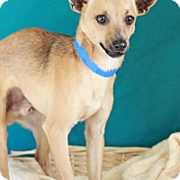 Adopt A Pet :: Jerry-ADOPTION PENDING - Waldorf, MD