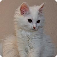 Adopt A Pet :: Goose - Davis, CA