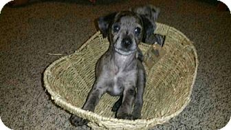 Dachshund/Australian Shepherd Mix Puppy for adoption in Loganville, Georgia - Apollo