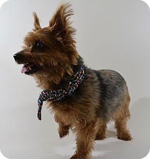 Yorkie, Yorkshire Terrier Mix Dog for adoption in New Iberia, Louisiana - HARLOW
