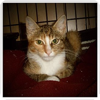 Domestic Shorthair Cat for adoption in Medford, Wisconsin - LILLIANNA