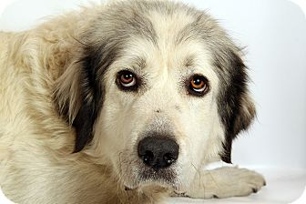 Great Pyrenees Mix Dog for adoption in St. Louis, Missouri - Lori Pyr