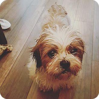 Shih Tzu Dog for adoption in Toronto, Ontario - Diamond 3389