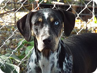 Overland Park Ks Catahoula Leopard Dog Bluetick