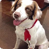 Adopt A Pet :: Chief - Phoenix, AZ