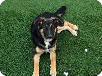 German Shepherd Dog/Border Collie Mix Dog for adoption in San Jose, California - Zane