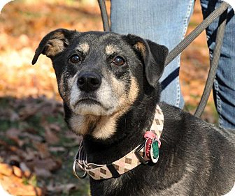 Shepherd (Unknown Type)/Beagle Mix Dog for adoption in East Hartland, Connecticut - Jeter