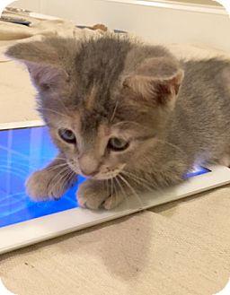 Domestic Shorthair Kitten for adoption in Devon, Pennsylvania - Baloo