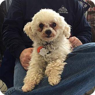 Maltese/Poodle (Miniature) Mix Dog for adoption in Minneapolis, Minnesota - Prince