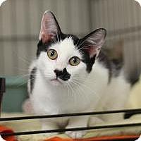 Adopt A Pet :: KR 5 White with black girl - Yukon, OK