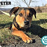 Adopt A Pet :: Peter - Kimberton, PA