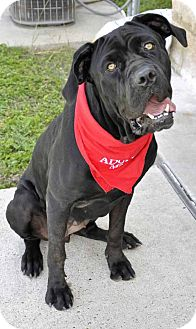 Mastiff Mix Dog for adoption in Corpus Christi, Texas - Katie