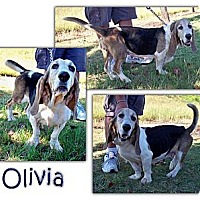 Adopt A Pet :: Olivia - Marietta, GA