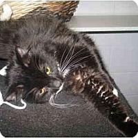 Adopt A Pet :: Burdock - Mission, BC