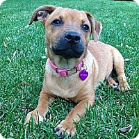 Adopt A Pet :: Buttercup - Broomfield, CO