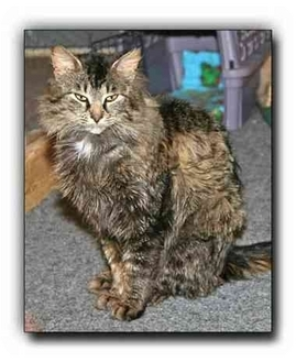 Domestic Mediumhair Cat for adoption in Howell, Michigan - Bevin