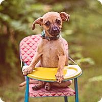 Adopt A Pet :: Hubba Bubba - Austin, TX