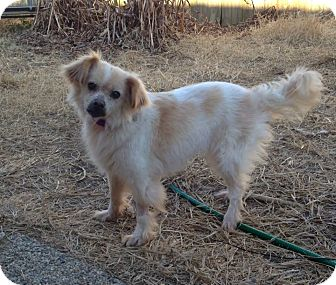 Pomeranian/Terrier (Unknown Type, Medium) Mix Dog for adoption in New Orleans, Louisiana - Honey