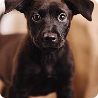Adopt A Pet :: Voodoo - Portland, OR