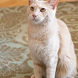 Photo 3 - Domestic Shorthair Cat for adoption in Chicago, Illinois - Nathaniel