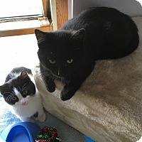 Adopt A Pet :: Chubby kittens - Whitestone, NY