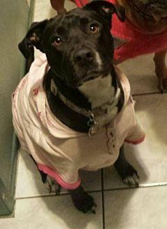 Labrador Retriever/American Pit Bull Terrier Mix Dog for adoption in Anaheim, California - Sugar