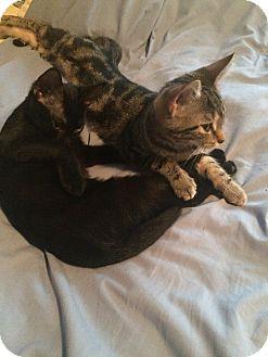 Domestic Shorthair Kitten for adoption in Carlisle, Pennsylvania - Frieda