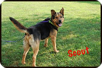German Shepherd Dog/Chow Chow Mix Dog for adoption in Columbia, Pennsylvania - Scout