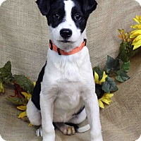 Adopt A Pet :: ANTONIA - Westminster, CO