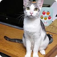 Domestic Shorthair Kitten for adoption in Los Angeles, California - Bonnie
