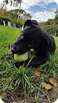 Labrador Retriever Mix Dog for adoption in Edina, Minnesota - Bentley D161376: PENDING ADOPTION