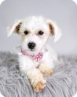 Toy Poodle/Bichon Frise Mix Puppy for adoption in St. Louis Park, Minnesota - Oz-No Longer Accepting Applications