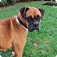 Boxer Mix Dog for adoption in Harrisonburg, Virginia - Darla