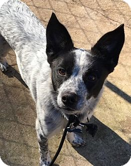 Australian Cattle Dog Dog for adoption in Remus, Michigan - Nash