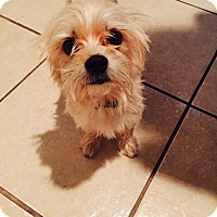 Yorkie, Yorkshire Terrier/Terrier (Unknown Type, Small) Mix Dog for adoption in Lodi, California - Kovu