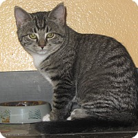 Domestic Shorthair Cat for adoption in Ridgway, Colorado - Savannah