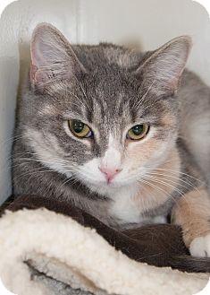 Calico Kitten for adoption in Georgetown, Texas - Maya