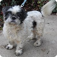 Shih Tzu Mix Dog for adoption in Pulaski, Tennessee - Binky