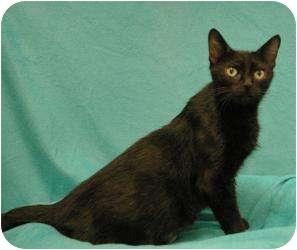 Domestic Shorthair Cat for adoption in Sacramento, California - Treasure
