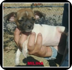 Chihuahua/Dachshund Mix Puppy for adoption in Mesa, Arizona - Miliha