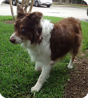 Australian Shepherd Mix Dog for adoption in Abilene, Texas - Addie